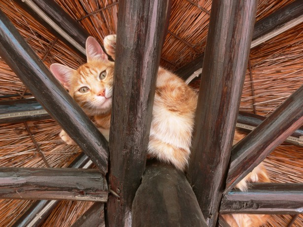ginger-cat-in-rafters-2.jpg