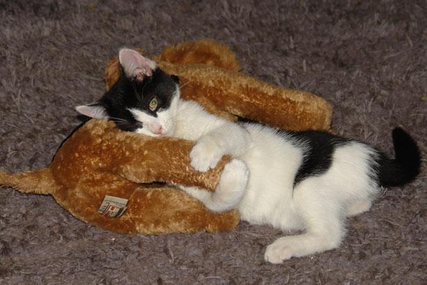 kitten-loves-toy.jpg