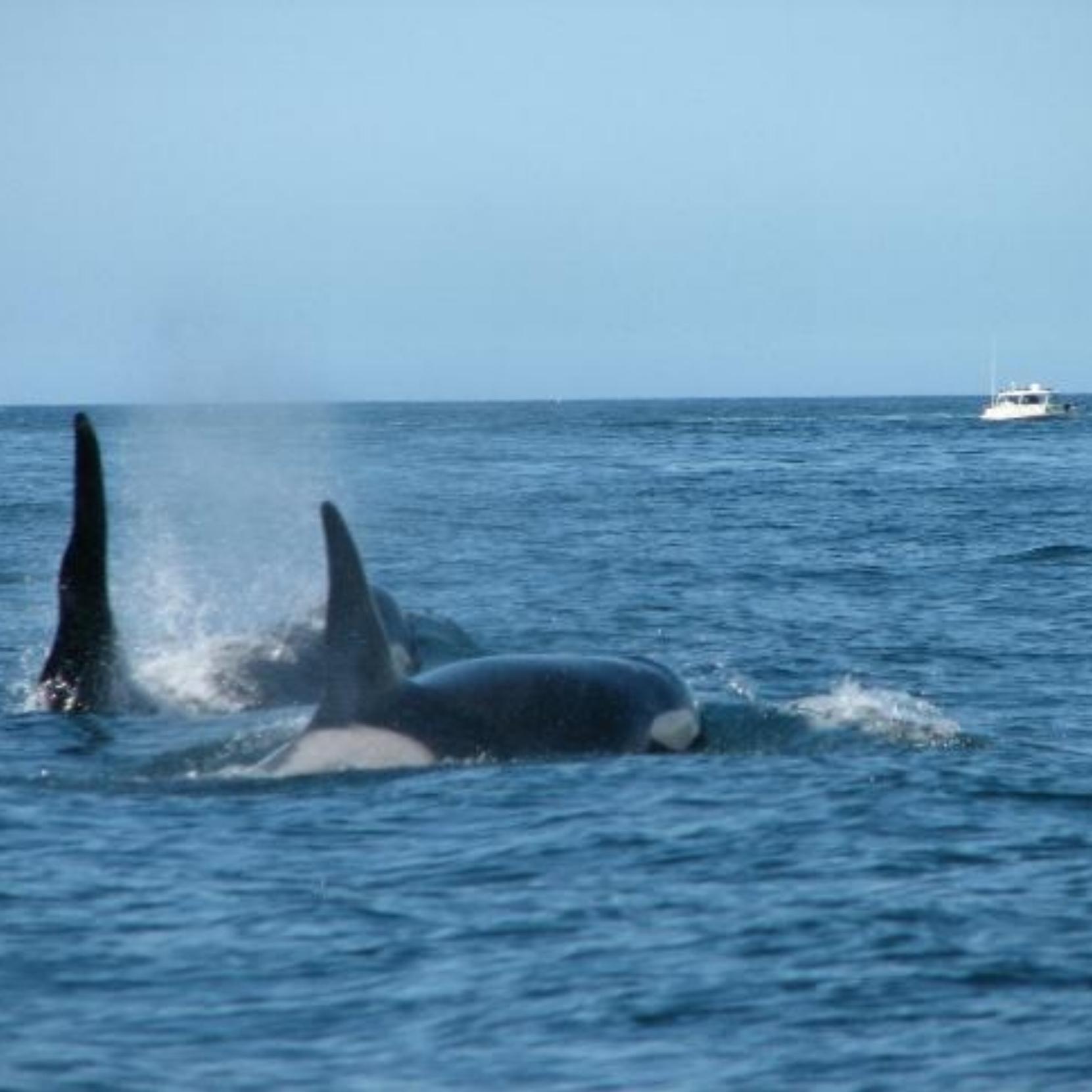 Dobbyn, Bev - Killer whales x 2.JPG