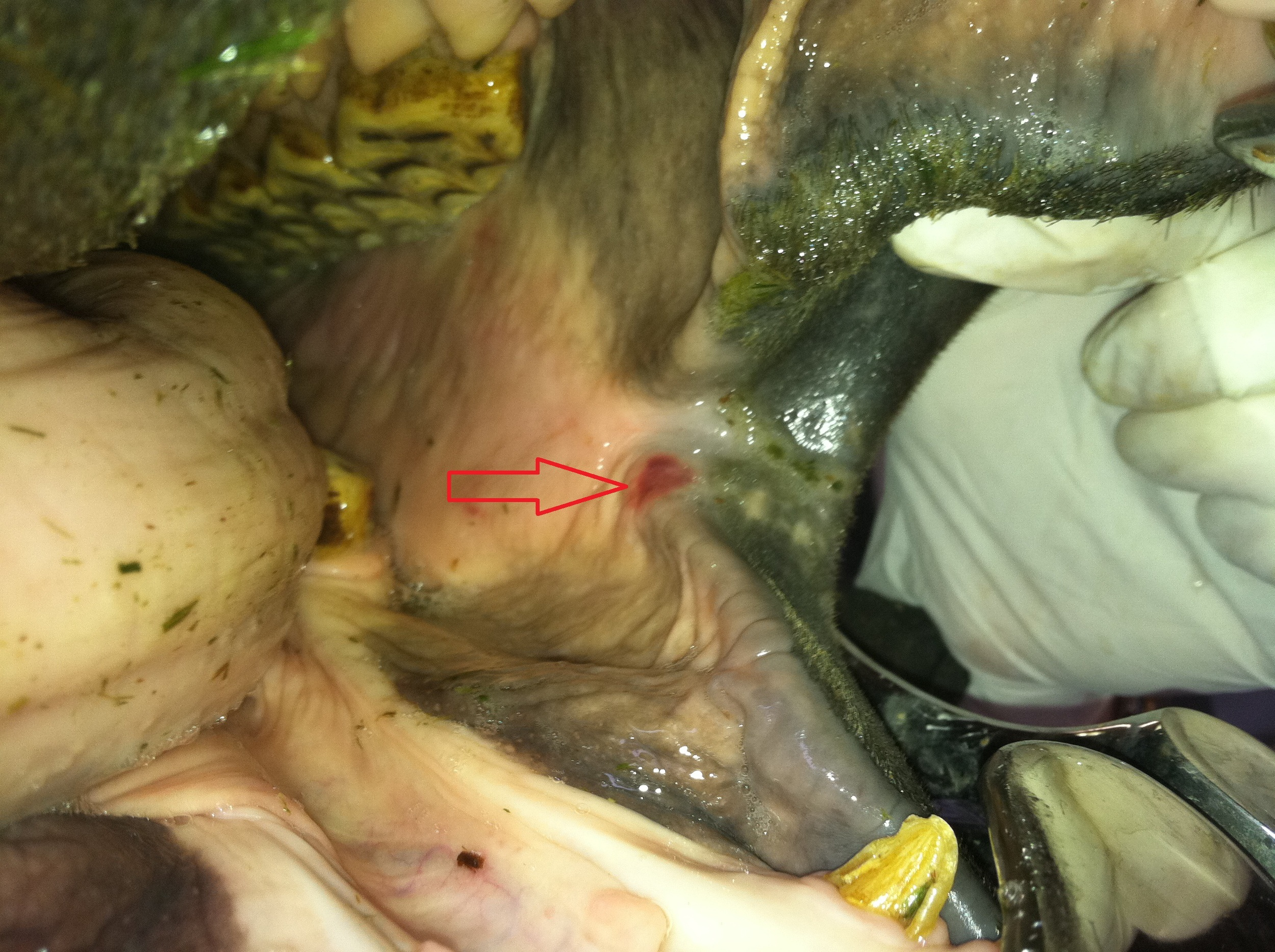 cheek ulcer from the bit- only identified during a complete dental exam