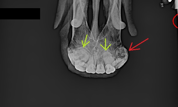 X-ray of a horse with EOTRH. The green arrows point to bulbous roots (hypercementosis) and the red arrow points to a tooth with both hypercementosis and resorption (the black area inside the tooth).
