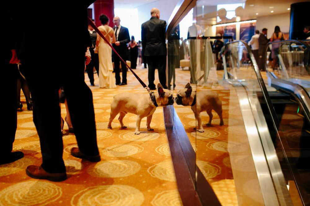 frenchie dog at wedding