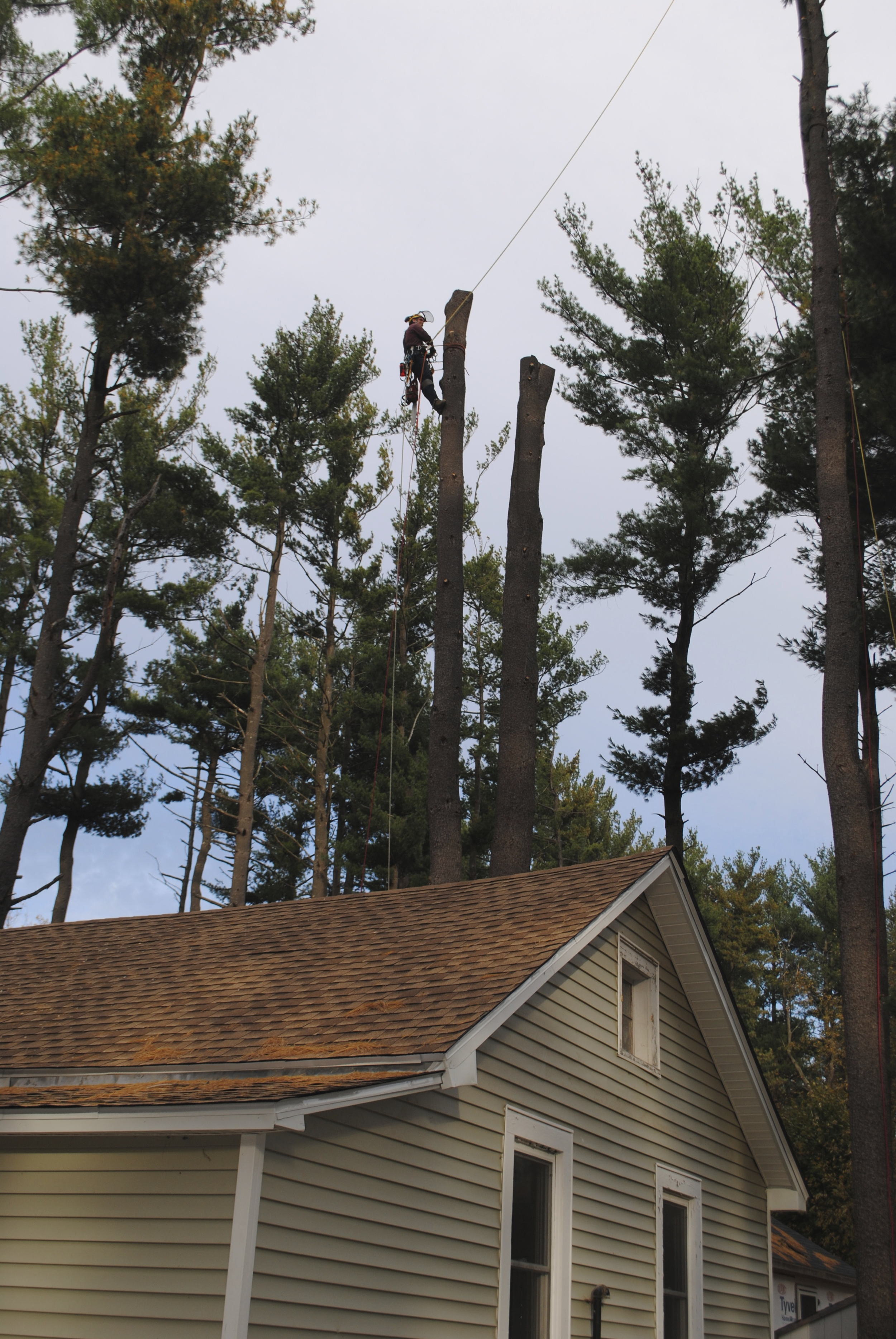 Using a complex rigging system, a double-trunk white pine tree is removed from next to a house.