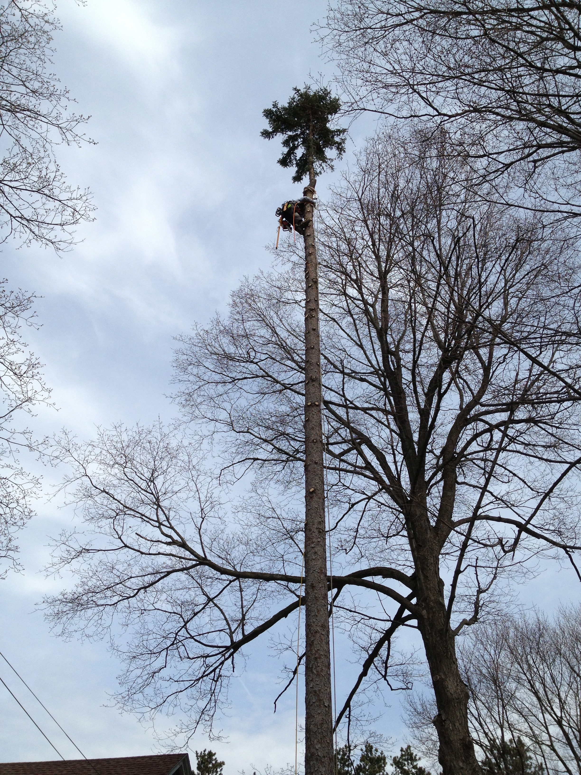 Using climbing spikes, certified arborist Caleb White de-limbs a spruce tree, before bringing the trunk down.