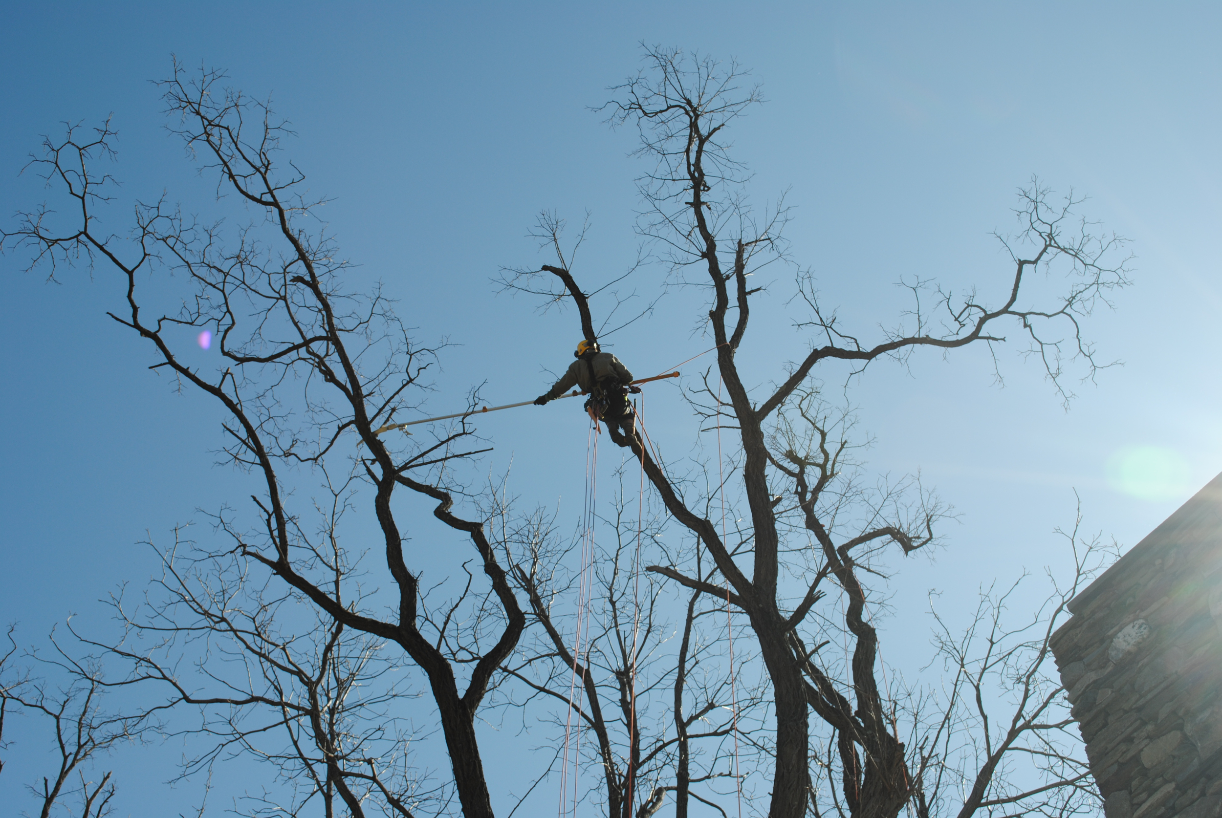 Certified Arborist Peter W. Madsen prunes dead branches from a locust tree while climbing on rope.