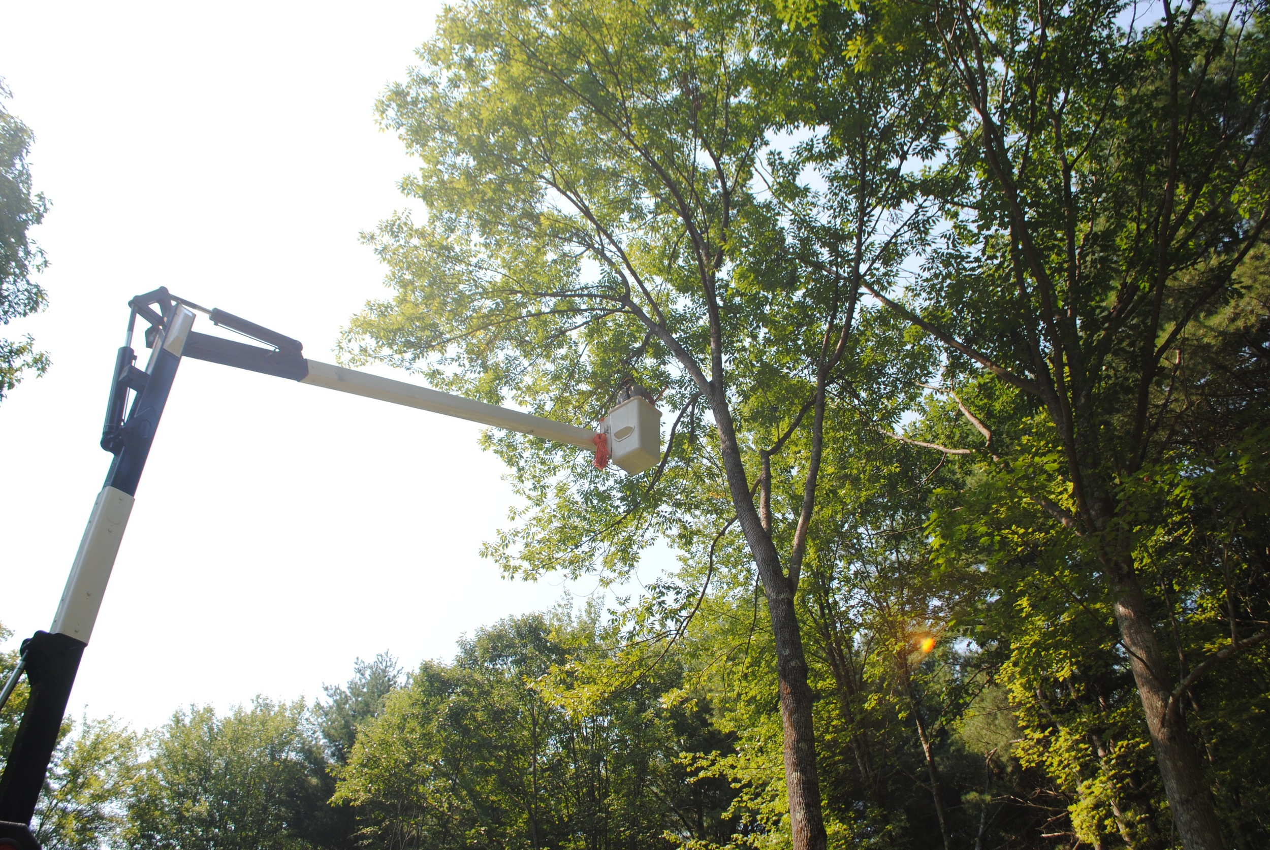 Using our 60' aerial bucket truck, we are able to prune the dead branches.