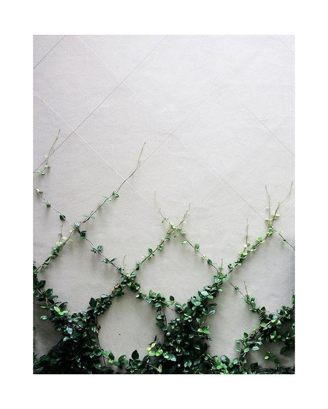 Natural order.  #vertical #garden #vines #architectural #foliage #urban #grid #wall