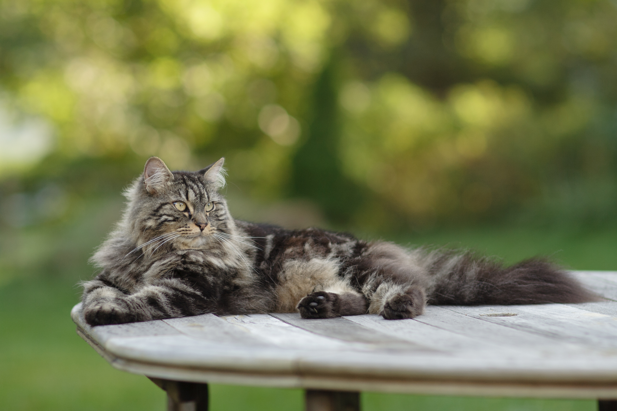 Maine Coon cat on table in RI, shot with 85mm lens
