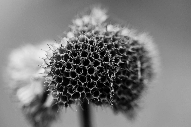 Rudbeckia seeds in fall