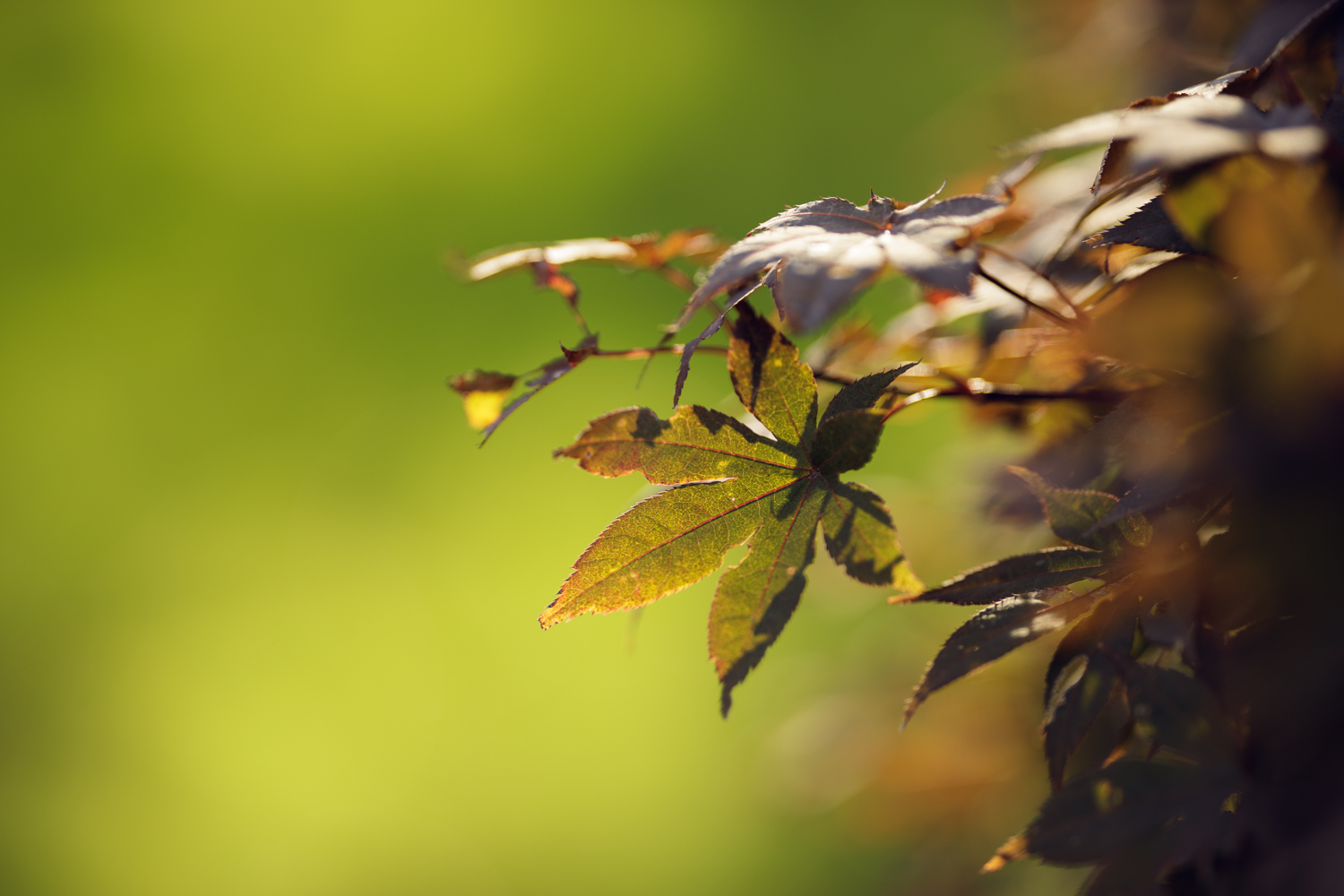 Japanese maple leaves in fall in RI