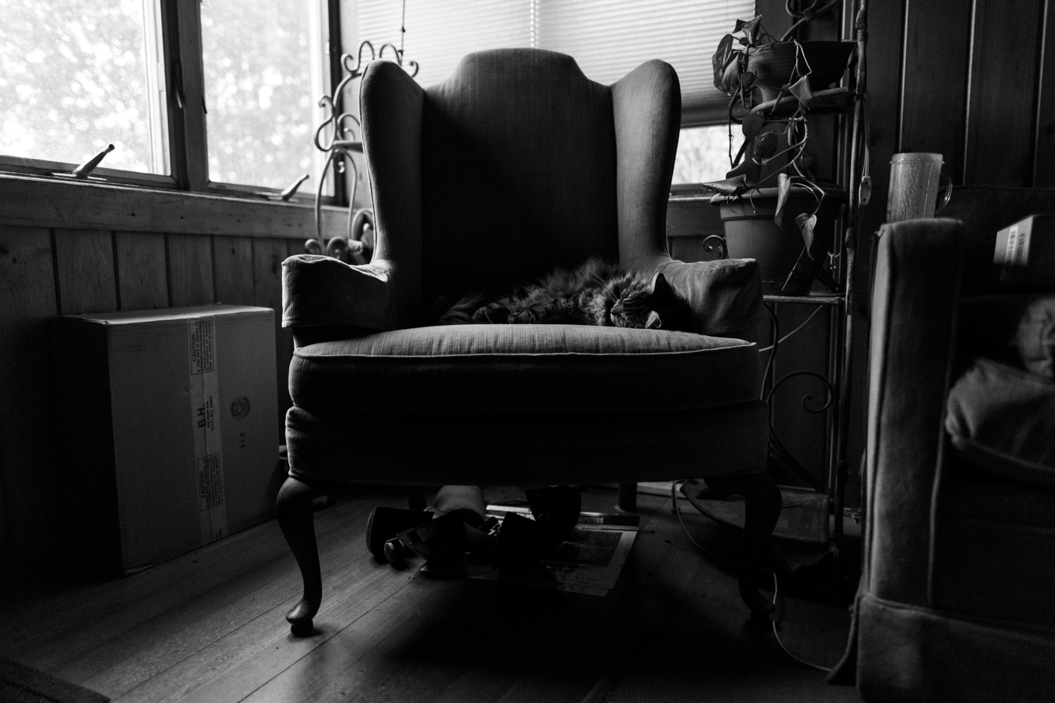Maine Coon cat on chair in Wakefield, RI