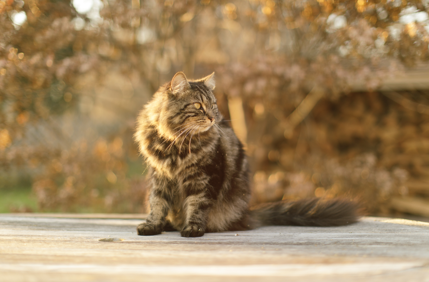 Maine Coon cat on patio table in Wakefield, RI