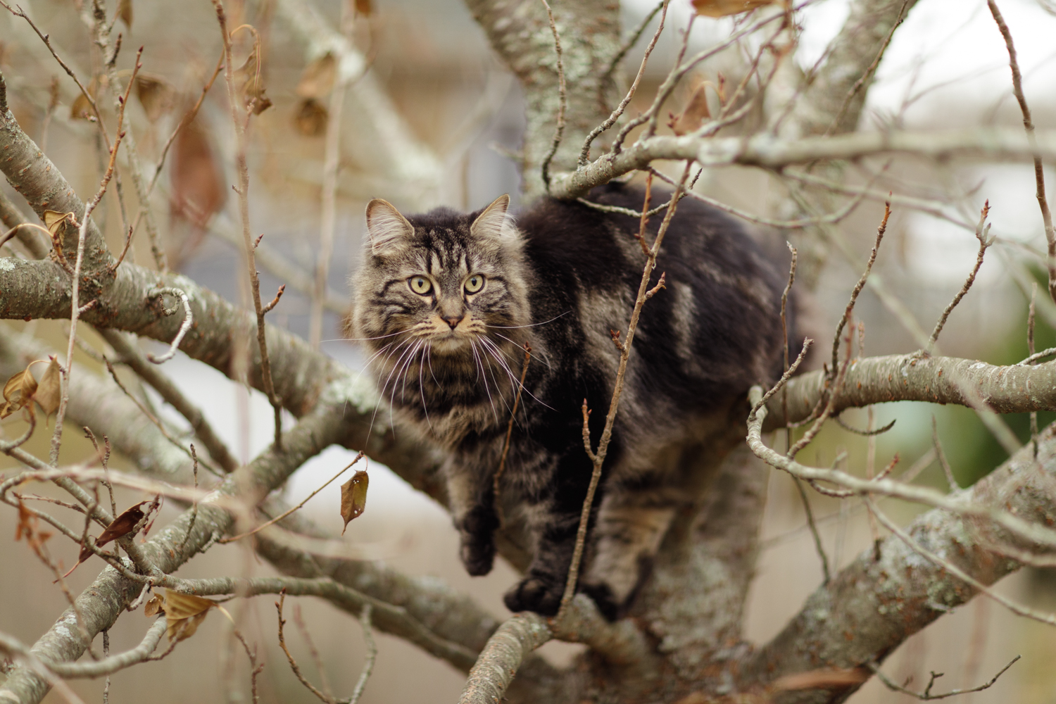 Maine Coon cat in tree in Wakefield RI