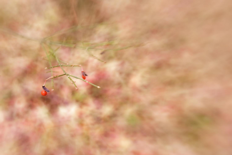 berries on burning bush in Wakefield, RI