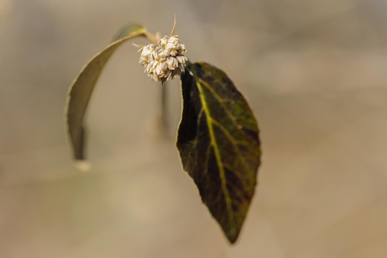 mohawk viburnum bud