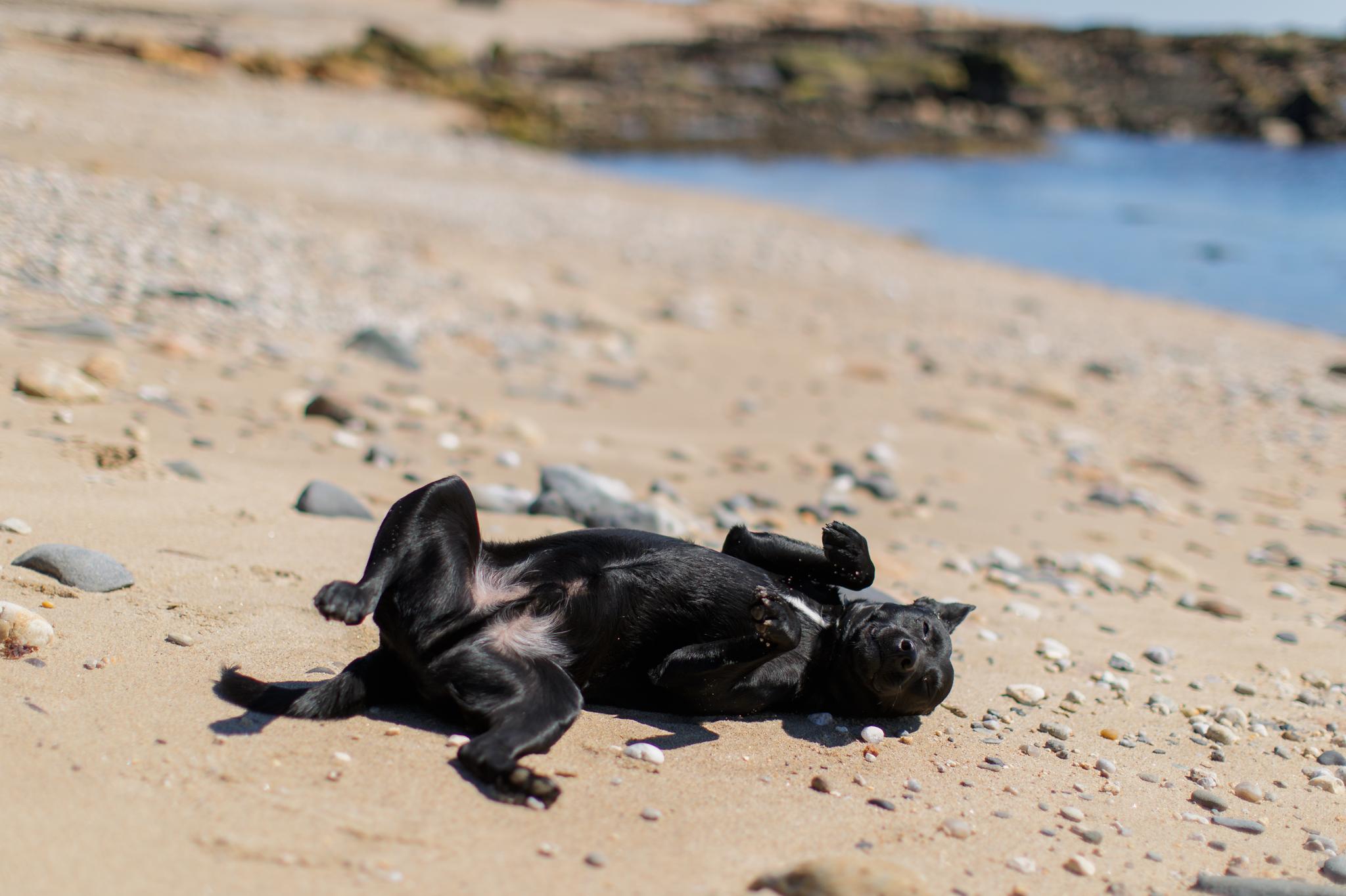 dog rolling on beach in Narragansett, RI