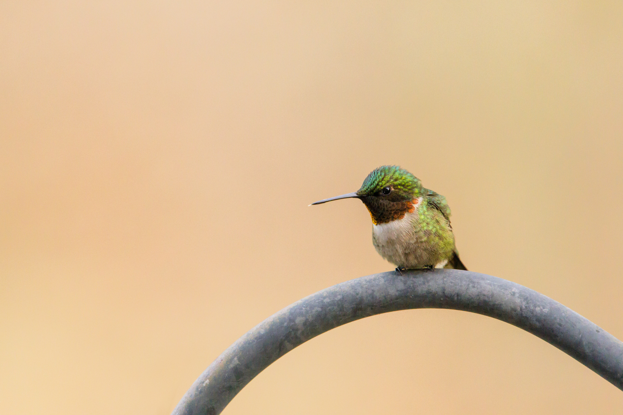 ruby throated hummingbird at rest