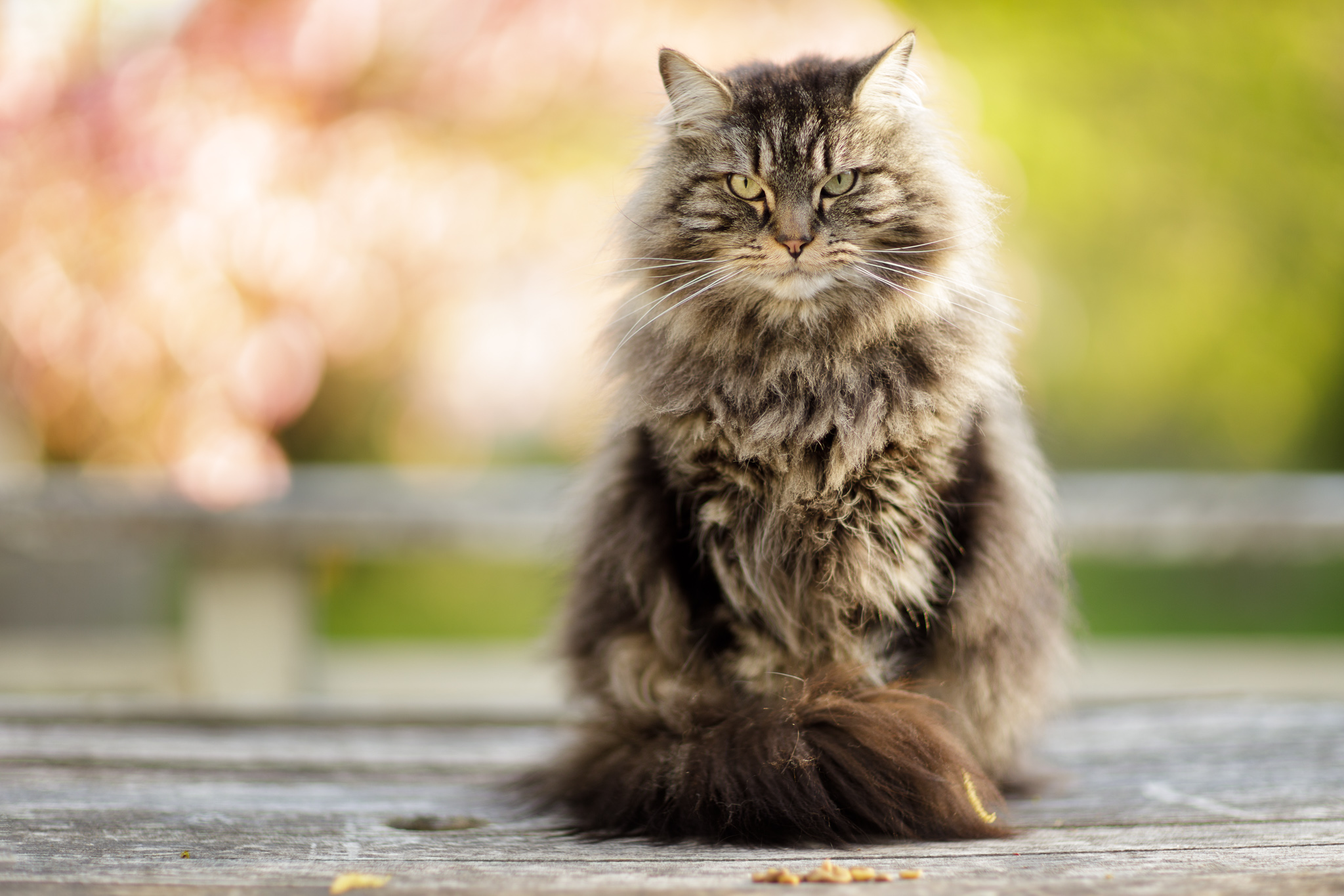 Maine Coon cat in springtime in Wakefield, RI