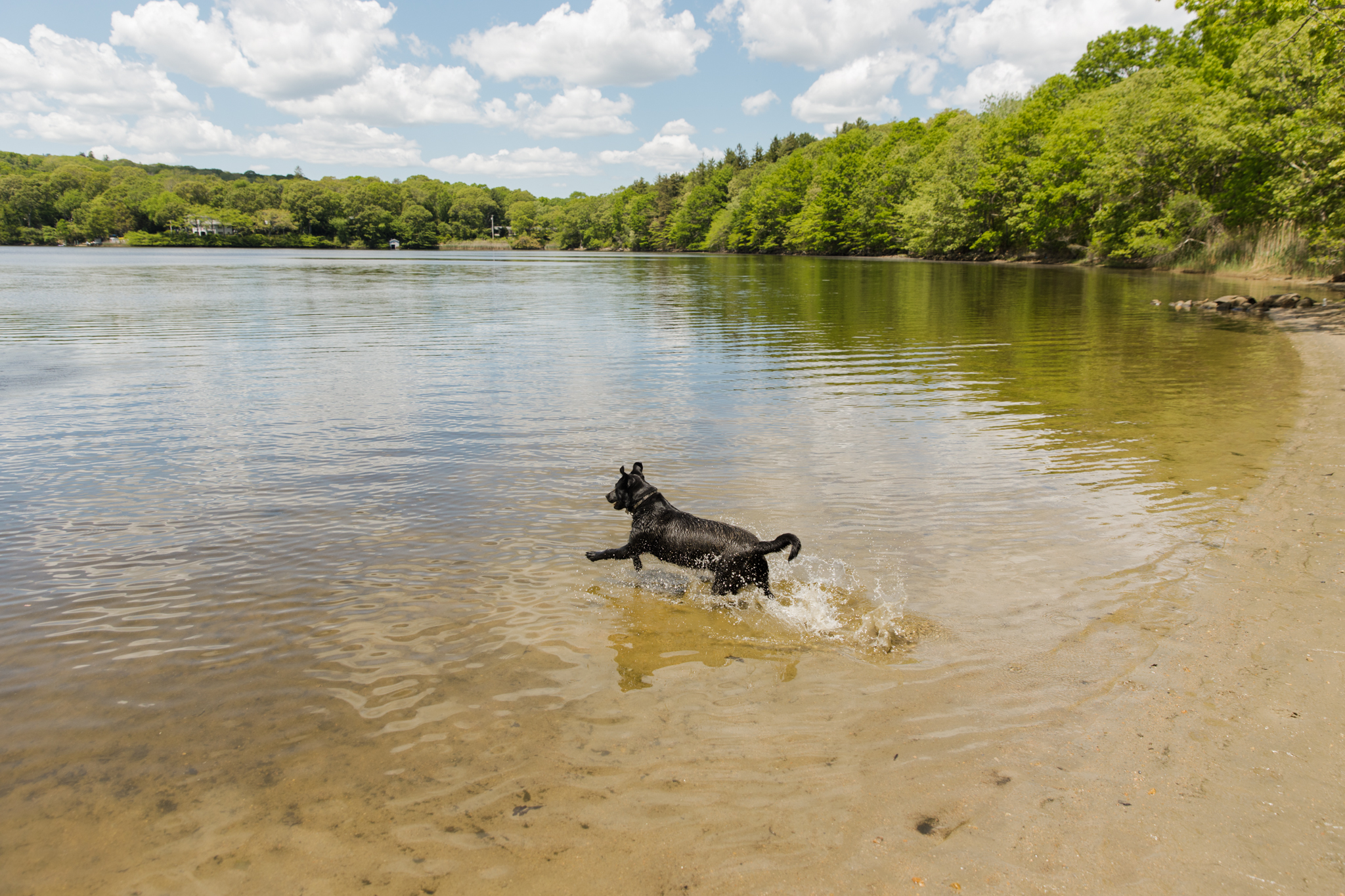 dog jumping into pond at King's Preserve in Saunderstown, RI