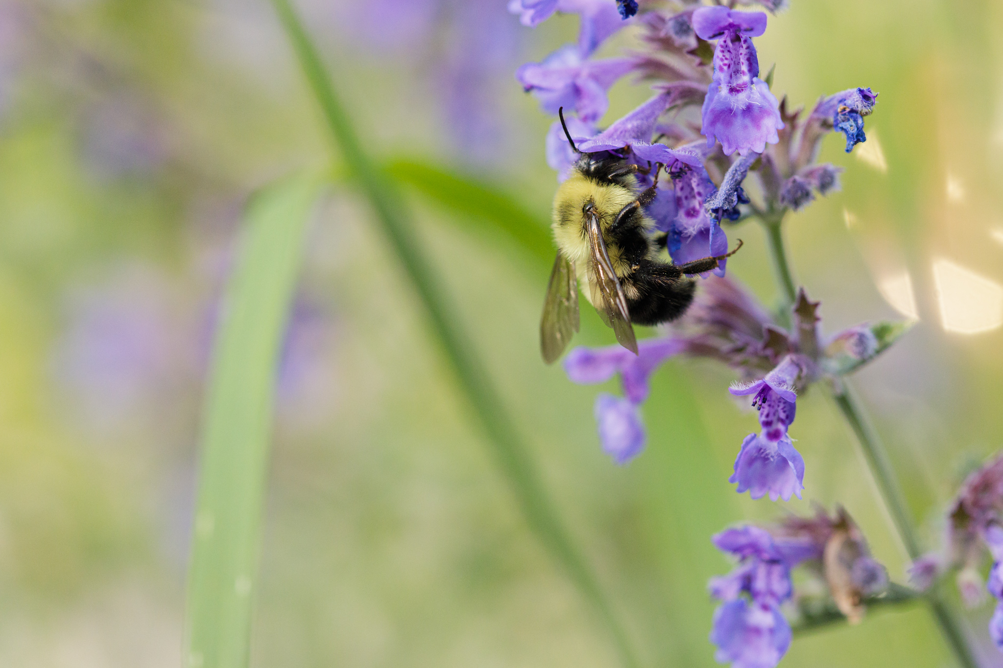 bee on catmint plant
