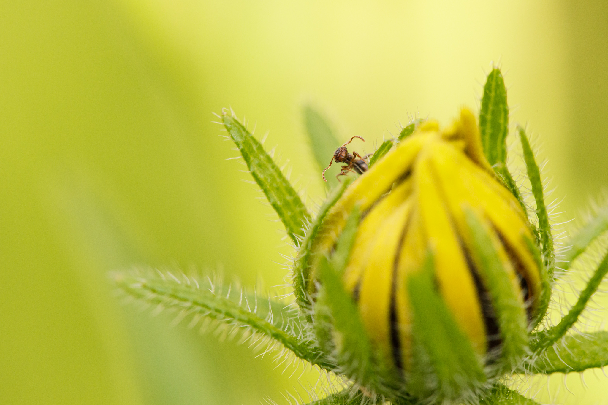 small ant on rudbeckia bloom