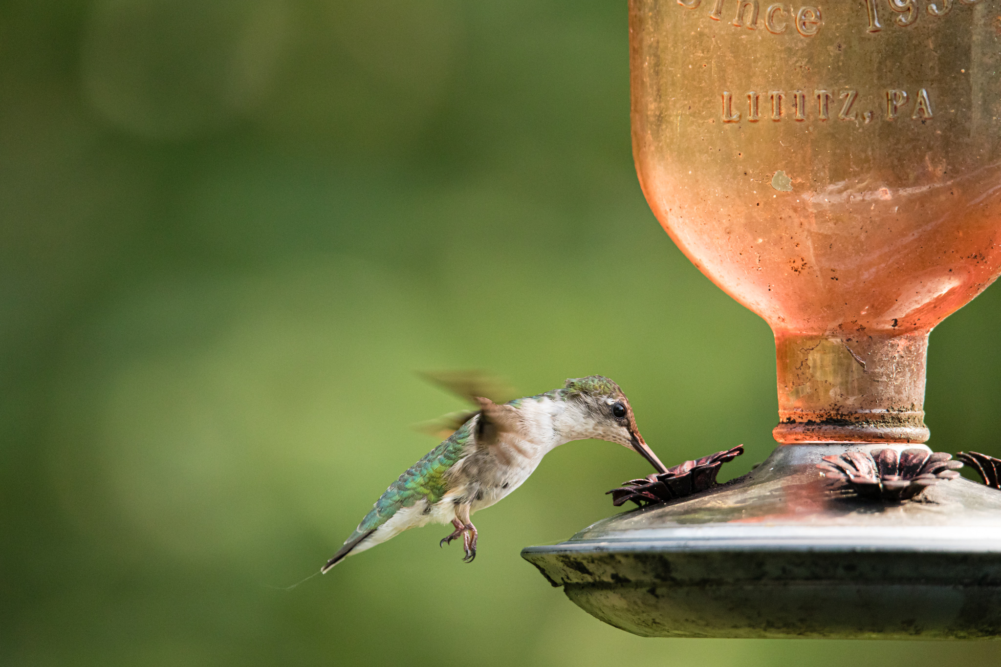 ruby throated hummingbird at feeder in Wakefield, RI