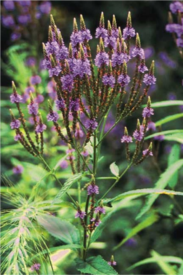"Vervain ""Herb of Grace"""