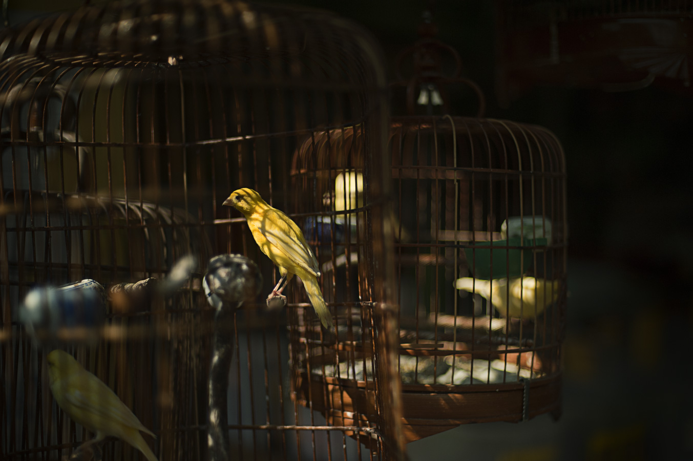Songbirds in traditional Chinese birdcages at Huadiwan Market, Guangzhou
