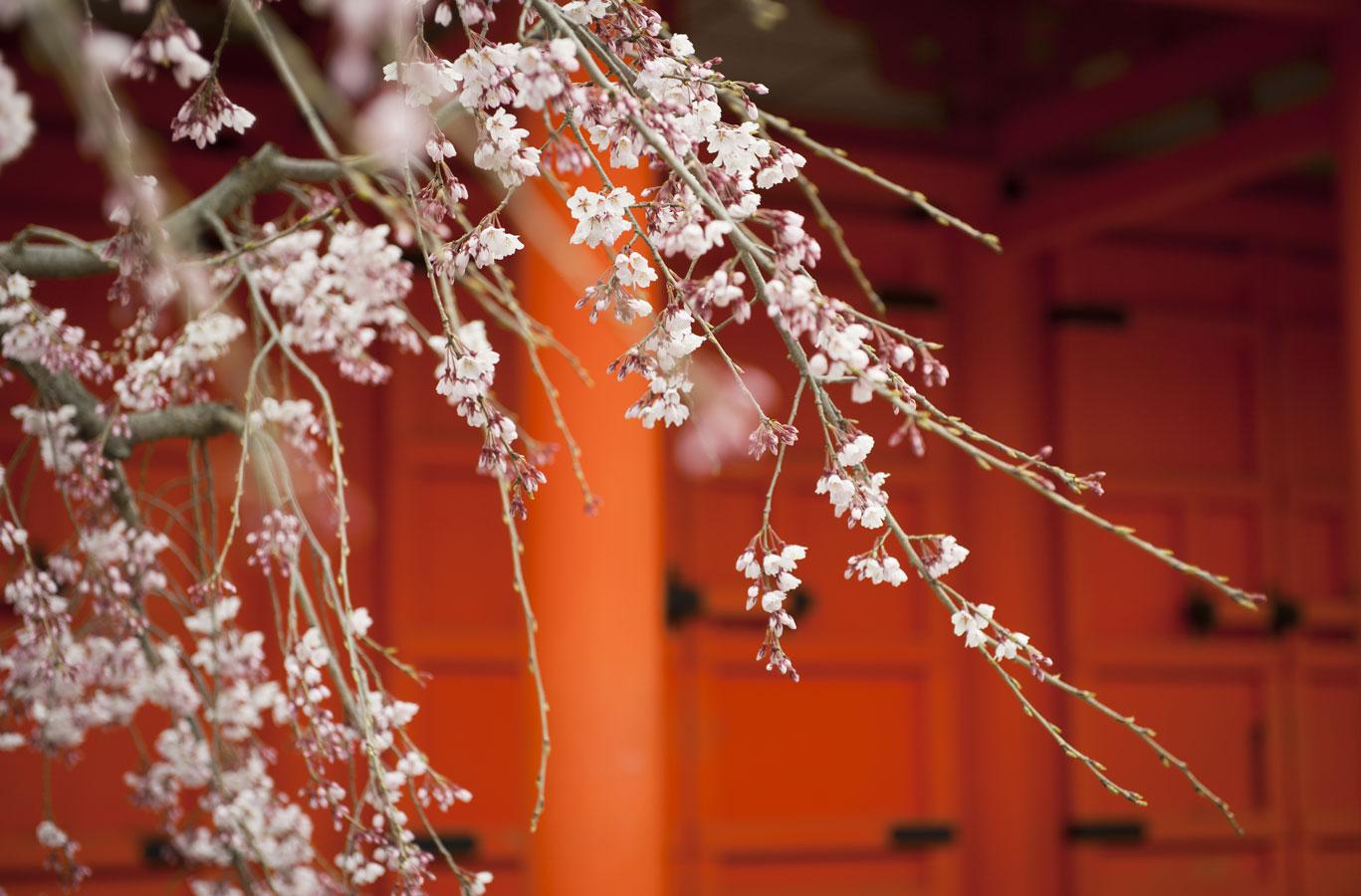 Jamie Lowe Photography Cherry Blossom Nara Japan.jpg