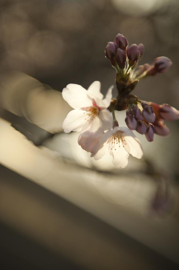 Jamie Lowe Photography Cherry Blossom Kyoto Japan.jpg