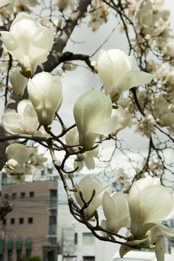 Jamie Lowe Photography Magnolia Blossom Kobe Japan.jpg