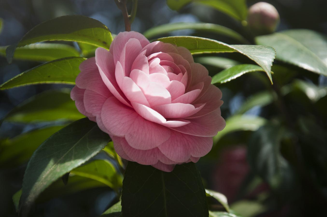 Jamie Lowe Photography Peony Flower Tokyo Japan.jpg