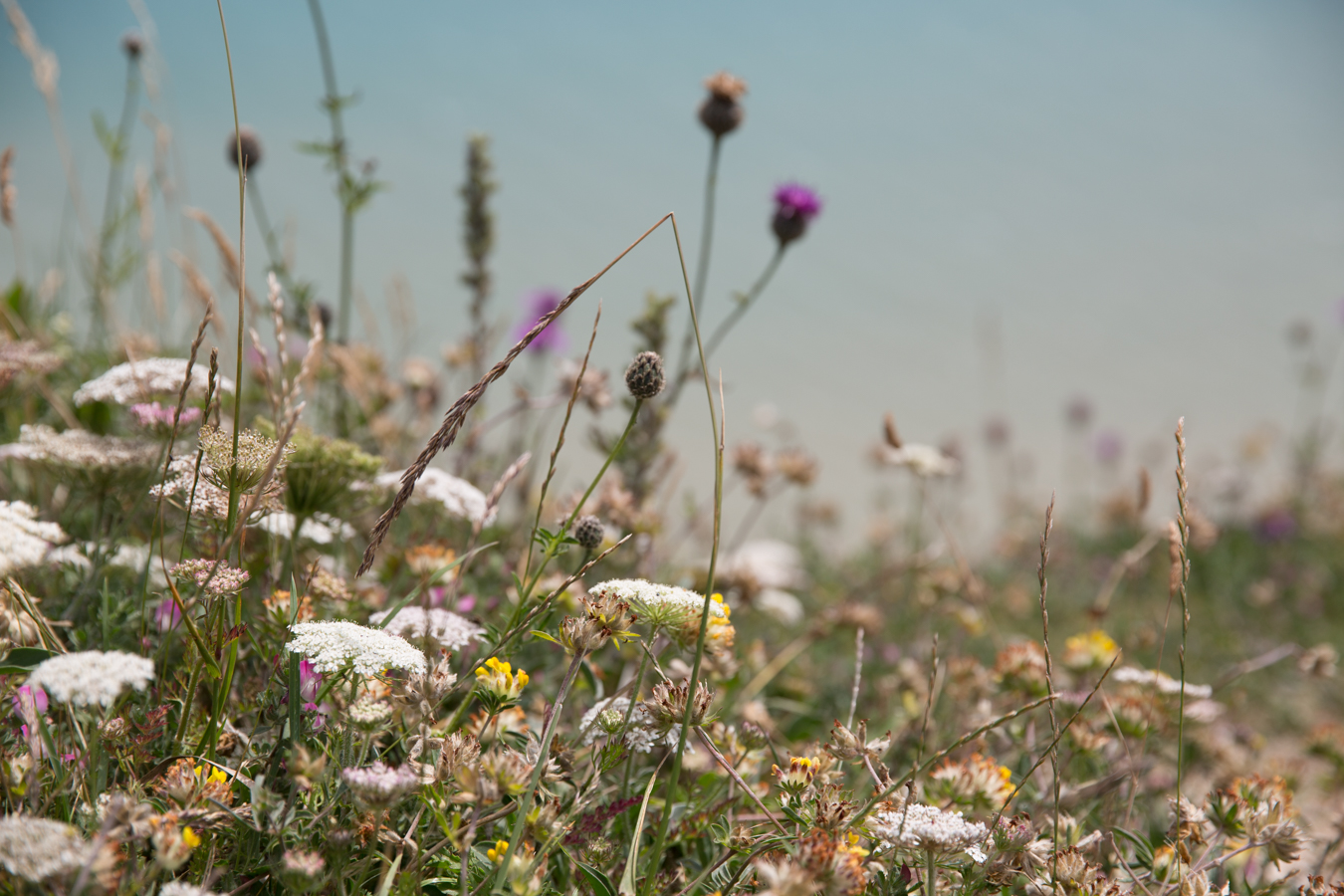 Wildflowers on the cliff edge of Beachy Head