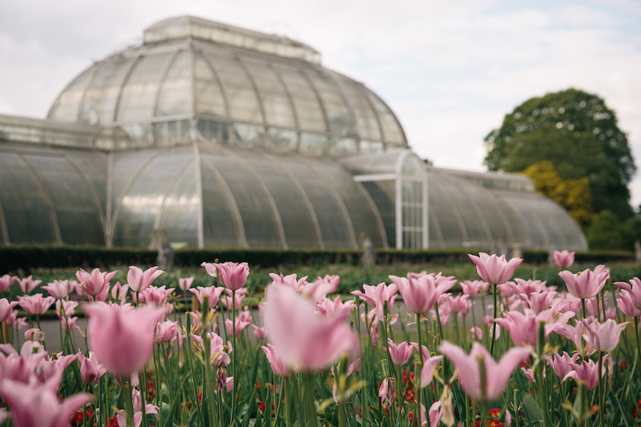 The tulip beds in from of the Palm House, towards the latter end of their blooming days...