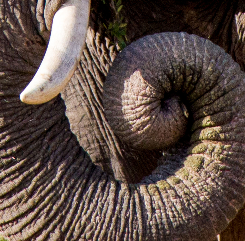 Elephant Tusk Curl
