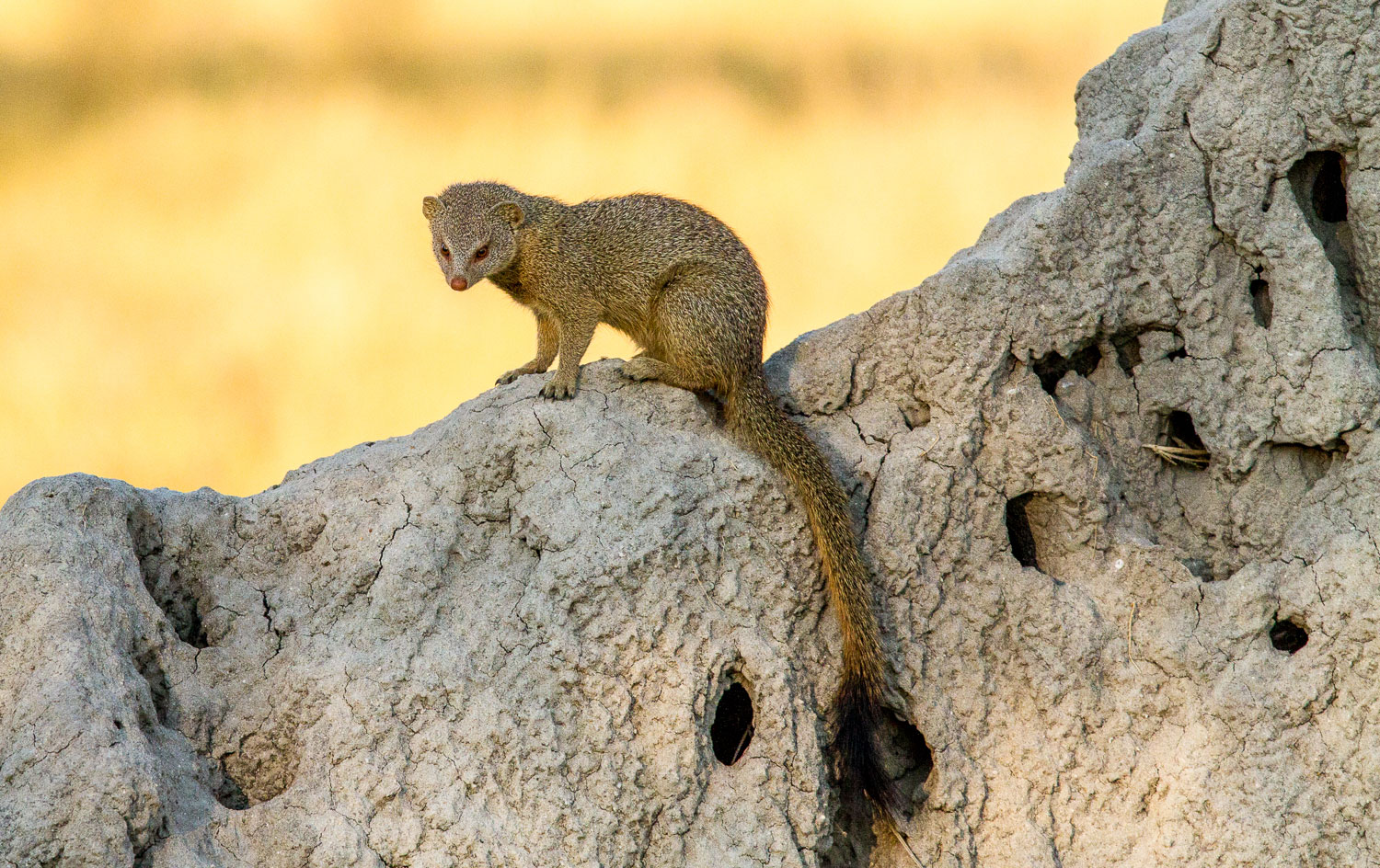 Mongoose on Termite Hill