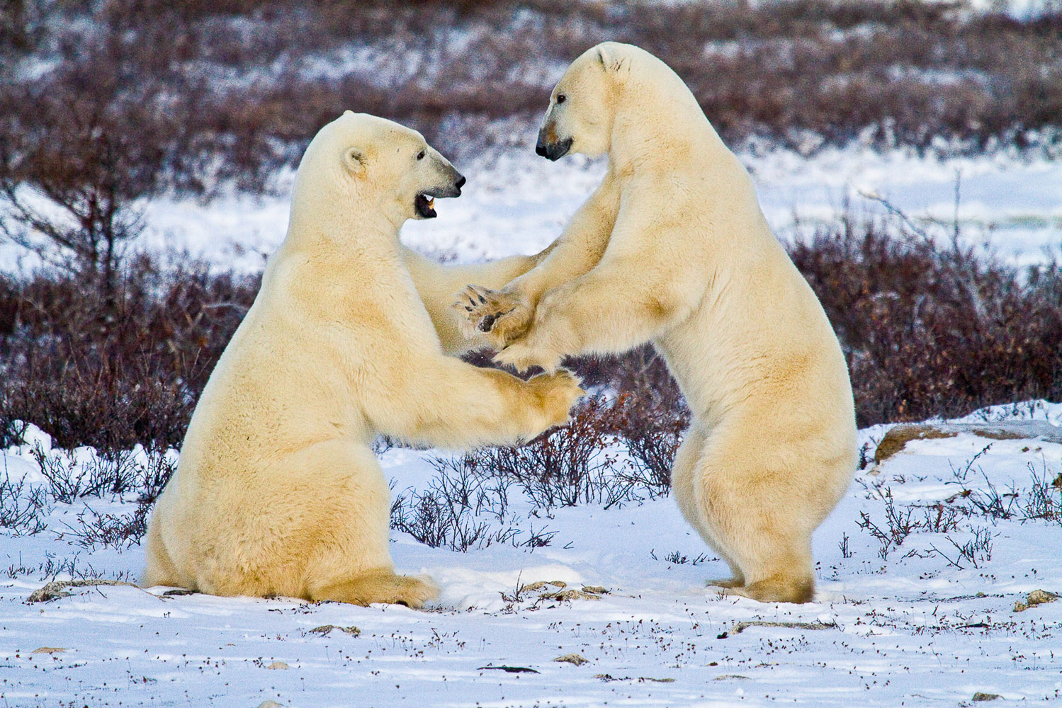 Patty Cake (Polar Bears)