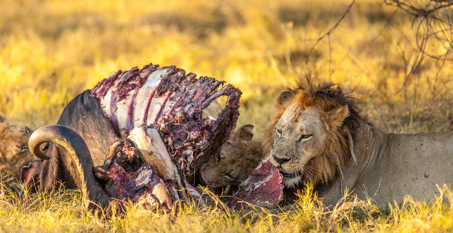 Lions Eating Cape Buffalo