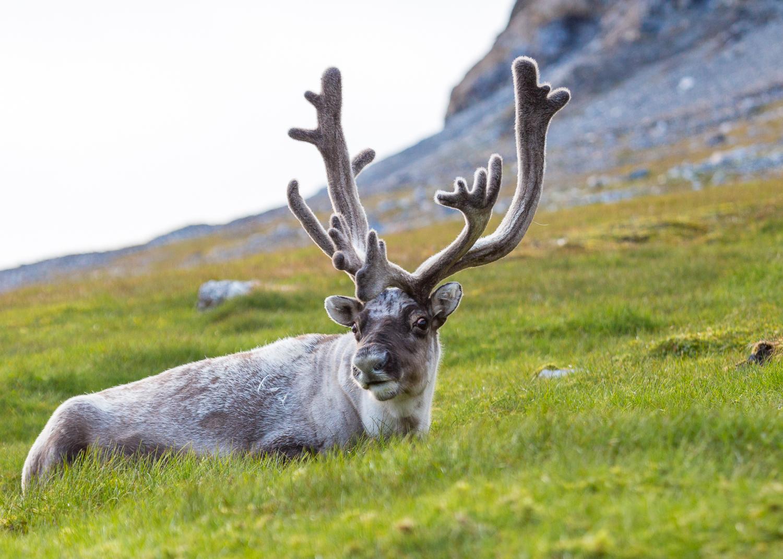 20140804_reindeer_8327.jpg