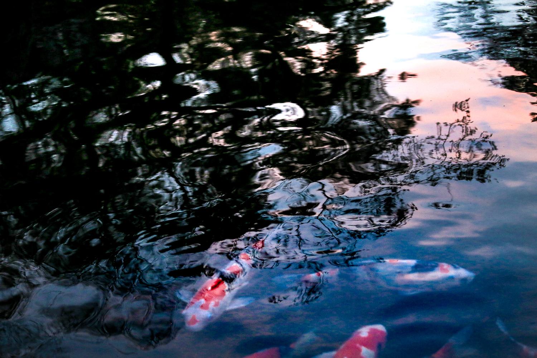japan-pond-cherryblossoms