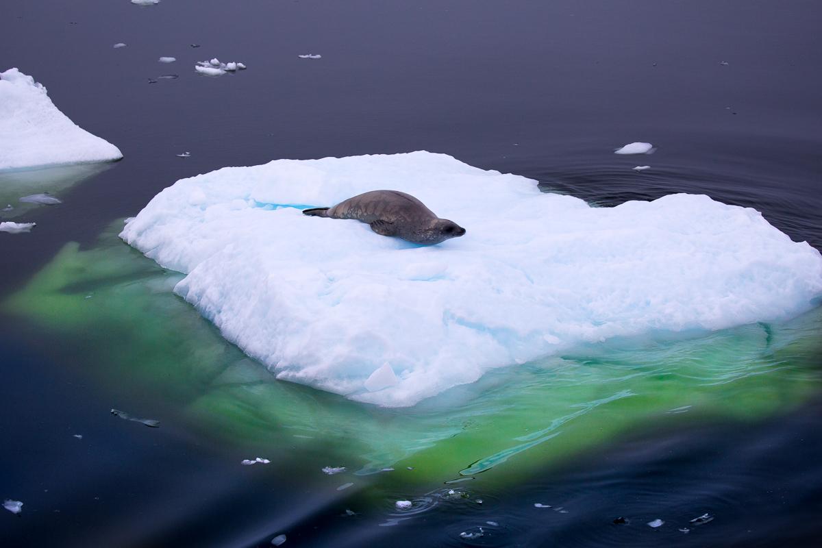 arctic-seal-glacier