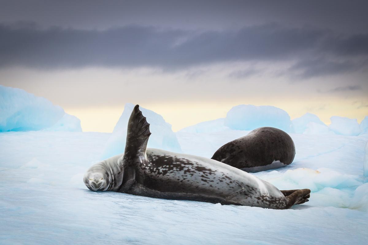 weddell-seal-antarctica