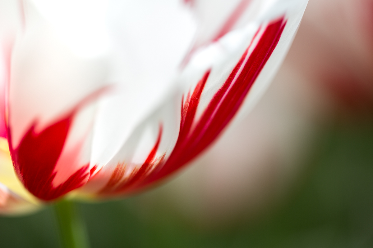 abstract-red-white-tulip