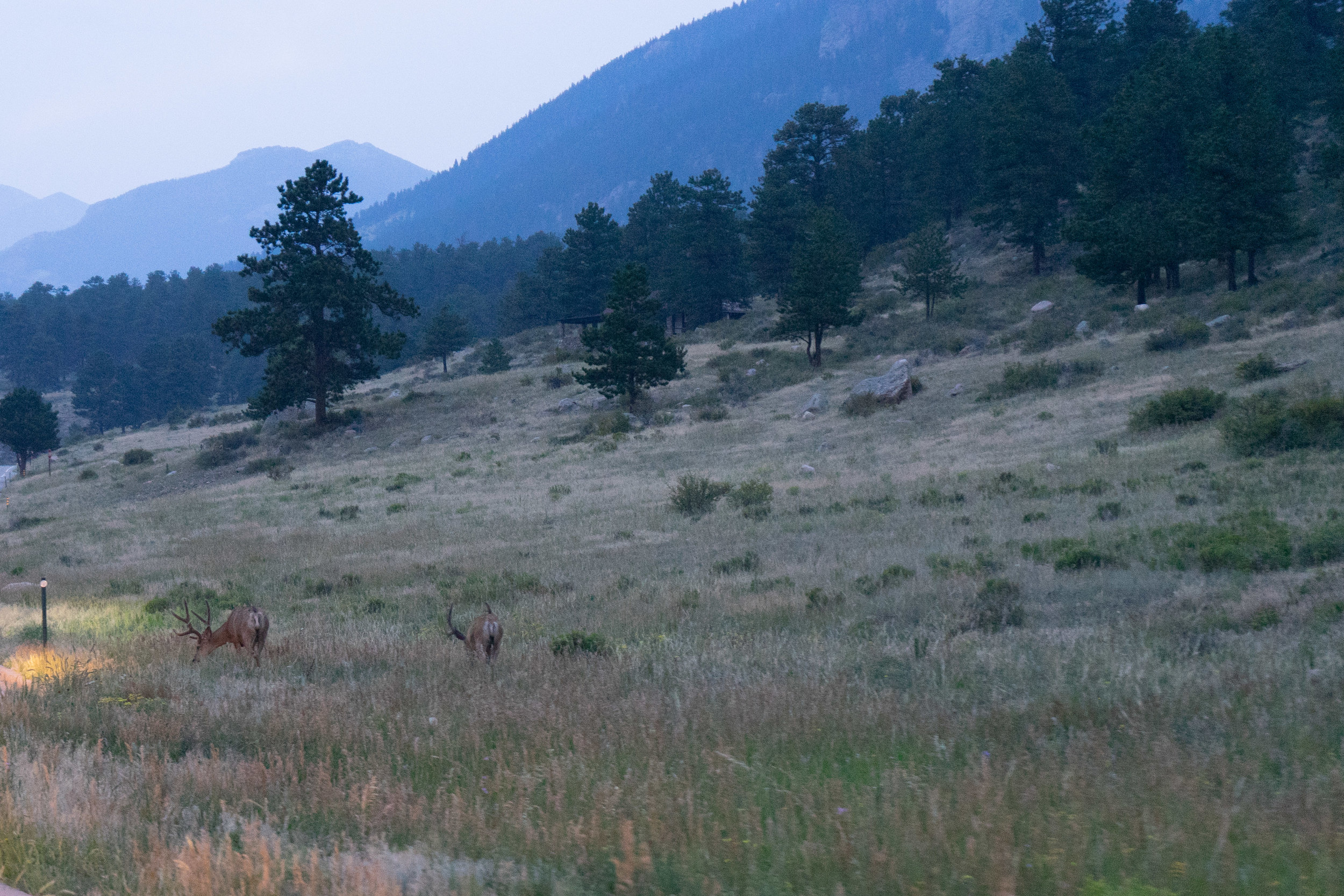 Elk at dusk. Rocky Mountain National Park 2018