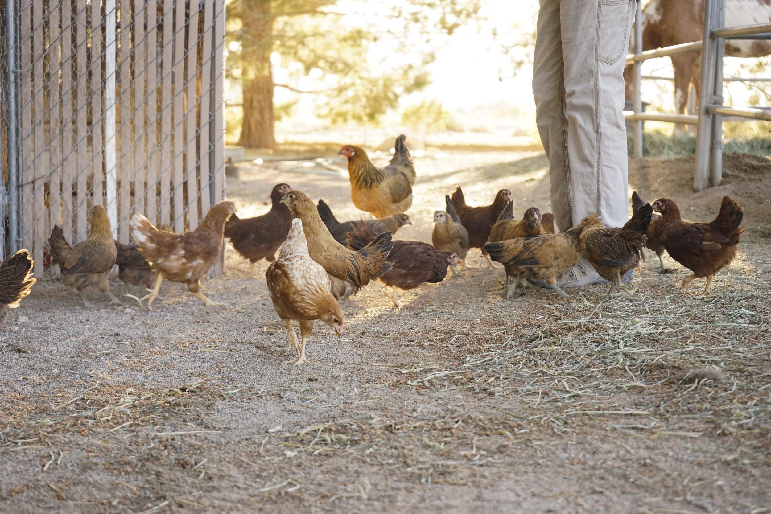 Hungry Chickens, Las Vegas, Nevada, 2019