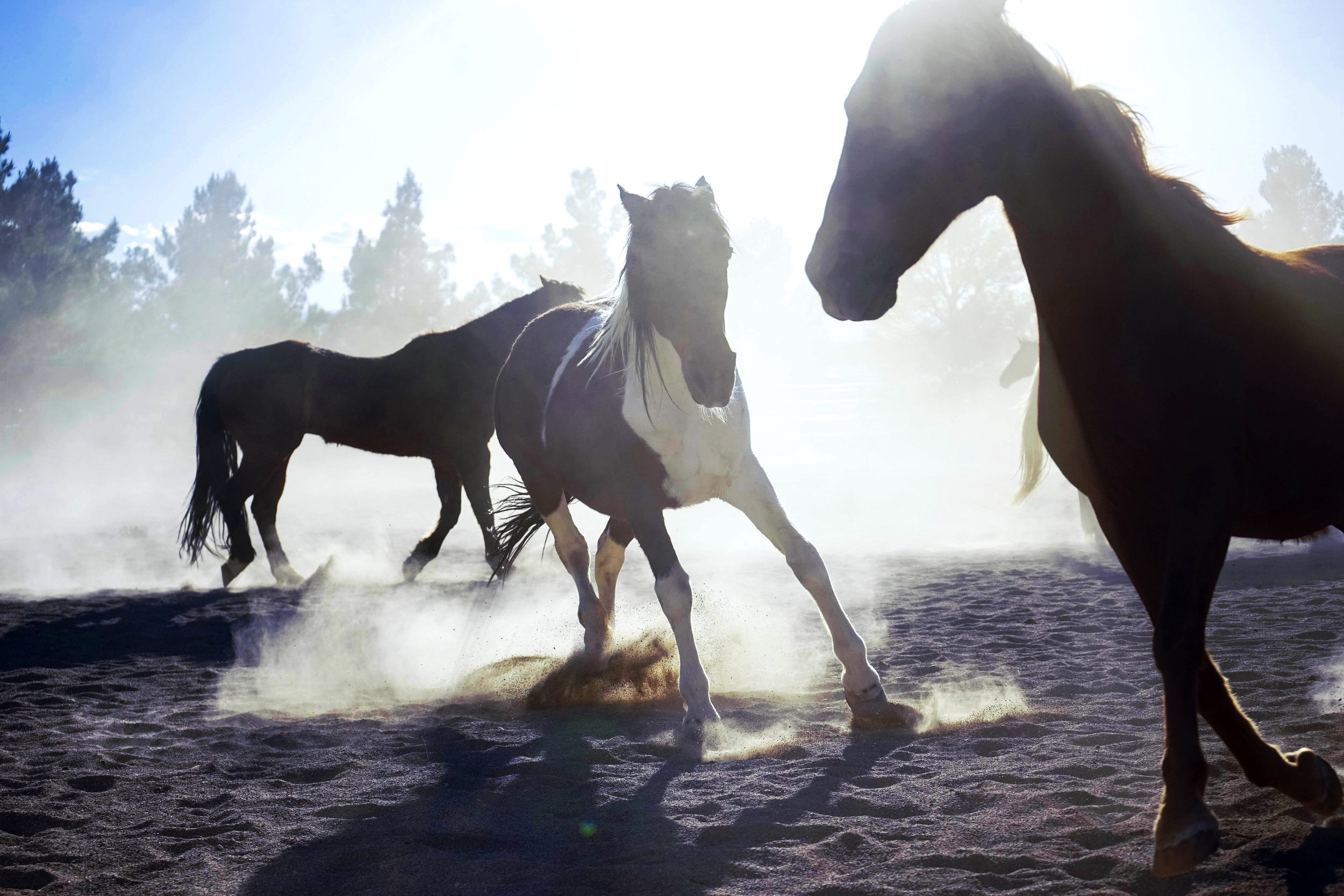 Horses at play, Las Vegas, Nevada 2019
