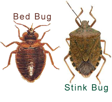 stink bug and bed bug copy.jpg