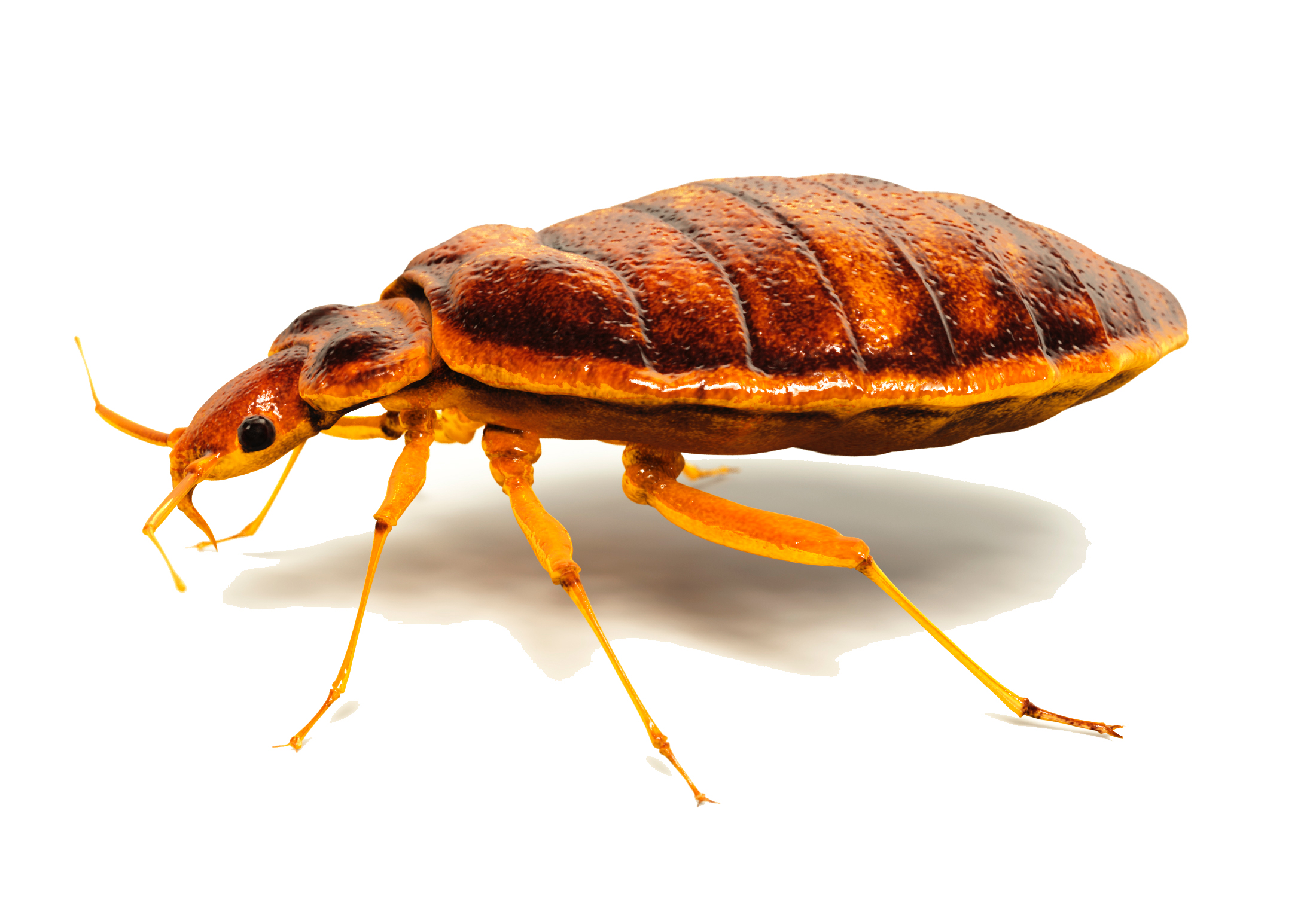 realistic composite of an adult bed bug; profile view; compare to  Bed Bug Mug Shots  of actual bed bug specimens - note the fine hairs are missing in this composite.