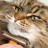 Regular brushing your cat will help prevent the matting of hair.