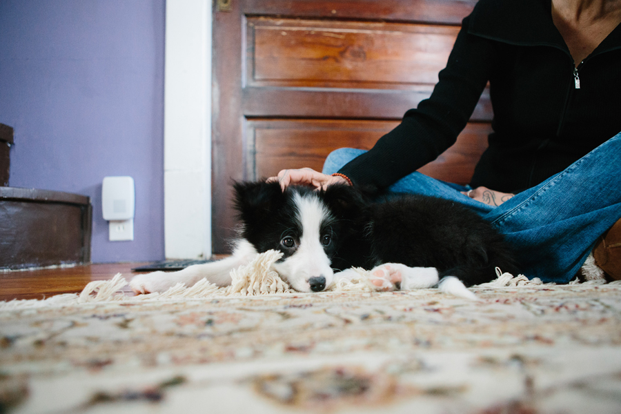 Border Collie Puppy.jpg